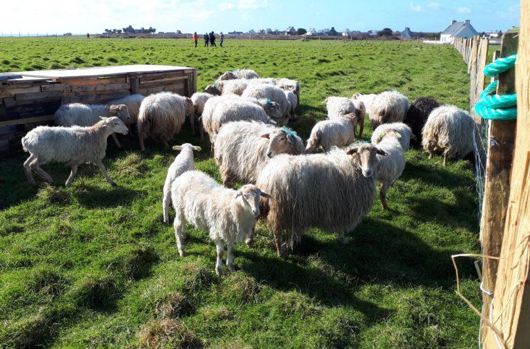 Relance de l'élevage à Ouessant